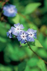 fleur-de-bach-cerato-plumbago