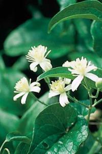 fleur-de-bach-clematis-clematite