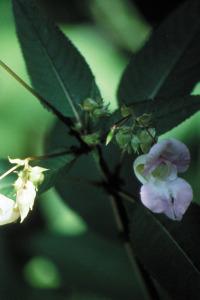 fleur-de-bach-impatiens-impatience