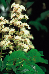 fleur-de-bach-white-chestnut-marronnier-blanc