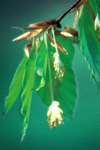 beech-hetre-fleur-de-bach
