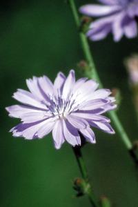 chicory-chicoree-fleur-de-bach