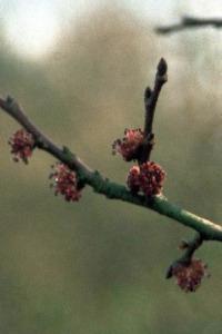 elm-orme-fleur-de-bach