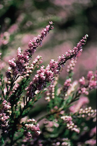 heather-bruyere-fleur-de-bach