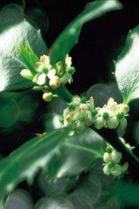 holly-houx-fleur-de-bach