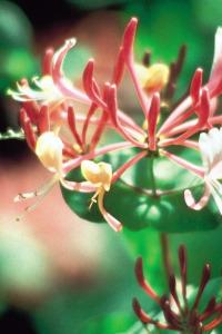 honeysuckle-chevrefeuille-fleur-de-bach