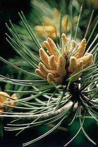 pine-pin-sylvestre-fleur-de-bach