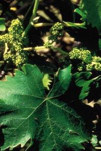 vine-vigne-fleur-de-bach