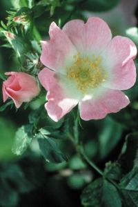 wild-rose-eglantier-eglantine-fleur-de-bach