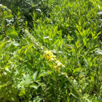 fleur-de-bach-agrimony-aigremoine-mount-vernon