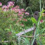 fleur-de-bach-honeysuckle-chevrefeuille-mount-vernon