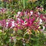 fleur-de-bach-honeysuckle-chevrefeuille-mount-vernon-borntobloom