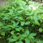 fleur-de-bach-impatiens-mount-vernon-borntobloom