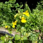 fleur-de-bach-mimulus-mimule-mount-vernon