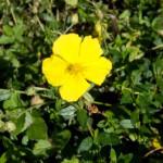 fleur-de-bach-rock-rose-heliantheme-mount-vernon-laurence-neige